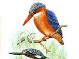 São Tomé Kingfisher