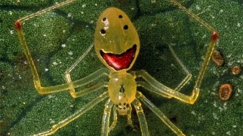 Happy Faced Spiders