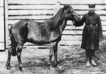 Only known photo of an alleged live tarpan, which may have been a hybrid or feral animal, 1884