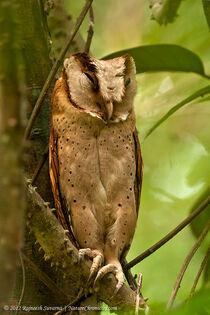 Species-Phodilus-assimilis-1