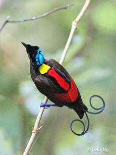 Wilsons Bird-of-paradise Cicinnurus respublica2 0