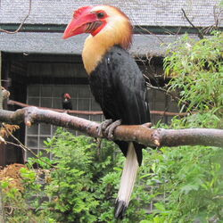 Hornbill writhed6
