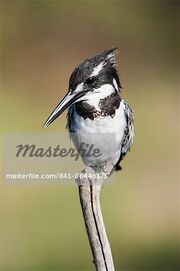 841-06446173em-Pied-kingfisher-(Ceryle-rudis)-Intaka-Island-Cape-Town-South-Africa-Africa