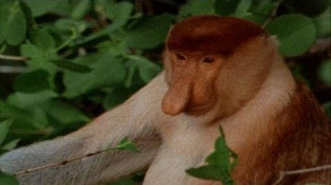 World's Weirdest - Proboscis Monkeys