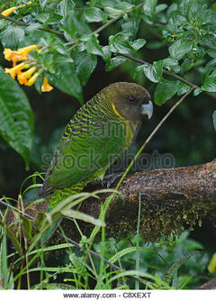 Brehms-tiger-parrot-psittacella-brehmii-kumul-lodge-western-highlands-c8xext