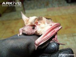Daubentons-free-tailed-bat-in-gloved-hand