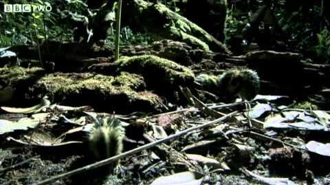 Madagascan Tenrecs Use Quills To Communicate - Madagascar, Lost Worlds, Preview - BBC Two