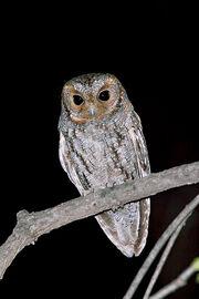 Flammulated owl rnb-8