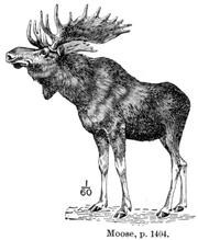 Caucasian Moose illustration
