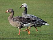 Immature Emperor Goose