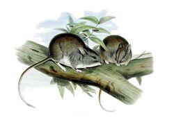 Leporillus apicalis - Gould