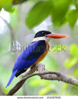 Stock-photo-beautiful-black-capped-kingfisher-bird-halcyon-pileata-a-red-bills-blue-wings-and-black-head-bird-154597658