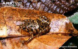 Platypelis-mavomavo-on-leaf