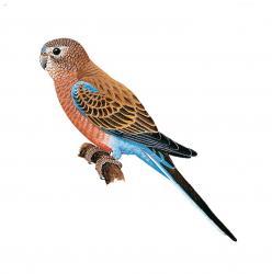 Bourke's Parrot | Animal Database | FANDOM powered by Wikia