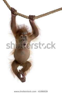 Baby-sumatran-orangutan-hanging-on-600w-41080039
