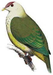 04 22 240 ptilinopus chalcurus