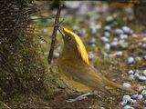 Golden-fronted Bowerbird