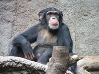 Common Chimp