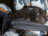New Guinea Big-eared Bat