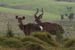 Tragelaphus buxtoni