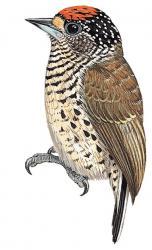 07 24 011 Picumnus spilogaster spilogaster m