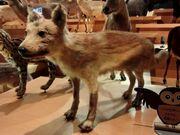 1280px-Japanese Wolf