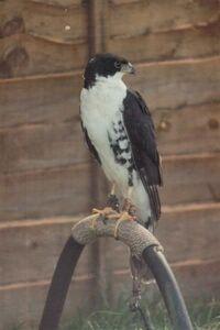 BlackSparrowhawk2Medium