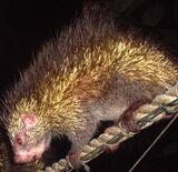 Bicolored-spined Porcupine