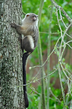 Black tailed marmoset (mico melanurus) Chester Zoo