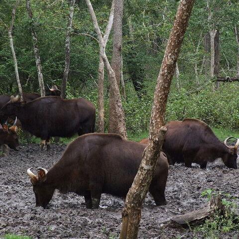 Wild gaur at a salt lick in Nagarhole National Park at Kabini