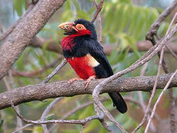 Bearded-barbet-lybius-dubius-5