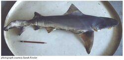 Borneo-river-shark