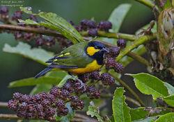PNG05800b Tit Berrypecker Male ( Oreocharis arfaki ) Ambua Lodge PNG August 2012-L