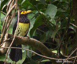 3816 Yellow-billed Barbet Trachyphonus purpuratus Sanaga River, Cameroon 20120302 2 600