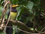 Yellow-billed Barbet