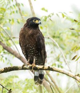 Sulawesi serpent eagle 1 adult