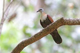 Wetar-ground-dove