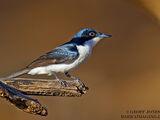 Paperbark Flycatcher