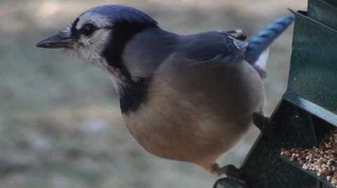 Blue Jay - HD Mini-Documentary