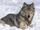 Northern Rocky Mountain Wolf