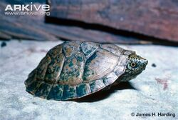 Young-flattened-musk-turtle-