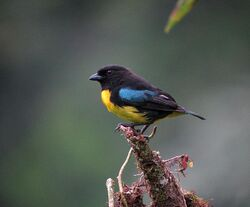 Black-and-gold Tanager.Las Tangaras NR.1