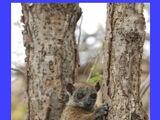Daraina Sportive Lemur