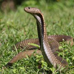 A Philippine Cobra.