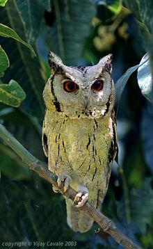 Indian scops owl vijay cavale-1