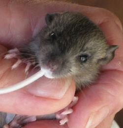 Marsh rat baby 4