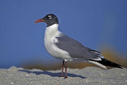 800px-Laughing Gull in Mating Plumage