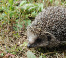 Amur Hedgehog