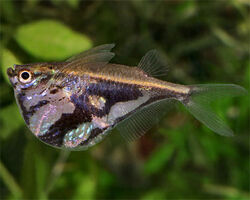 MarbledHatchetfish1