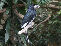 Piping Hornbill RWD1